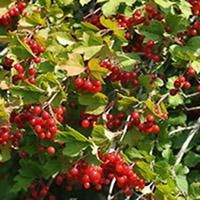viorne-obier au jardin naturel