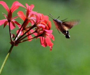 moro-sphinx_pelargonium